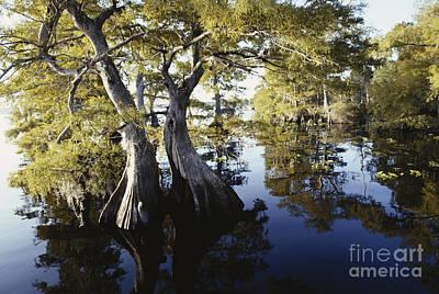 Cypresses In Lake Norris Poster