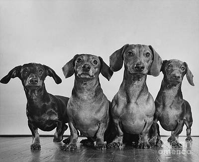Dachsunds Poster by Ylla
