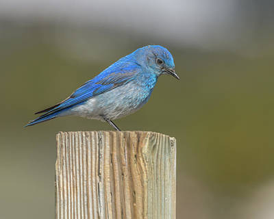 Daddy Bluebird Guarding Nest Poster