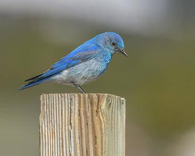 Daddy Bluebird Guarding Nest Poster