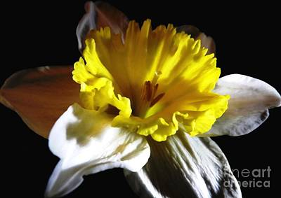 Poster featuring the photograph Daffodil 2 by Rose Santuci-Sofranko
