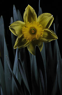 Daffodil By Moonlight Poster