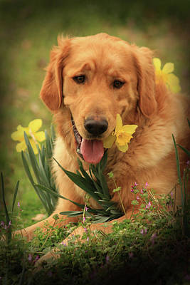 Daffodil Dreams Poster by Kim Henderson