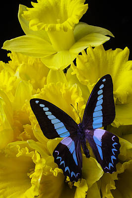 Daffodil With Blue Black Butterfly Poster by Garry Gay