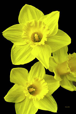 Poster featuring the photograph Daffodils by Christina Rollo