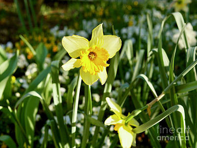 Daffodils In March Poster by Rachel Morrison