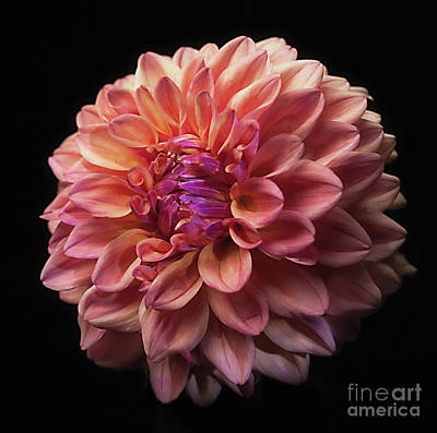 Dahlia 'ferncliff Copper' Poster