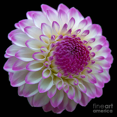Dahlia Fine Art On Black Poster