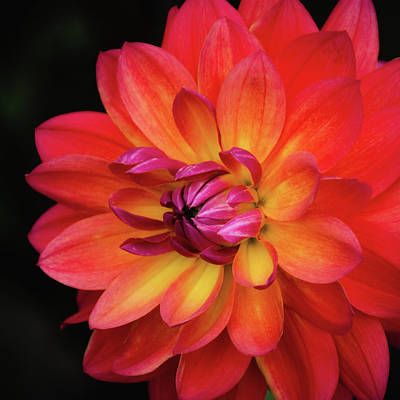Poster featuring the photograph Dahlia Firepot  by Julie Palencia