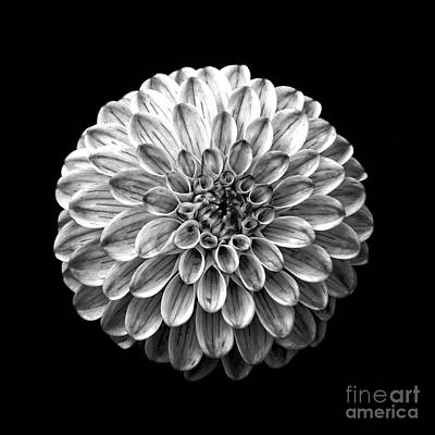 Dahlia  Flower Black And White Square Poster by Edward Fielding