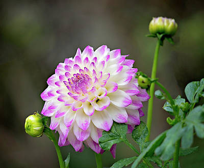 Dahlia Flower Poster