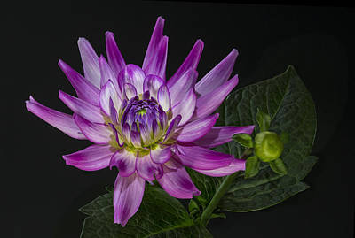 Poster featuring the photograph Dahlia Glow by Roman Kurywczak