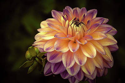 Poster featuring the photograph Dahlia In Peach And Lavender by Julie Palencia