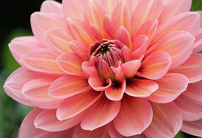 Poster featuring the photograph Dahlia In Pink And Peach by Julie Palencia