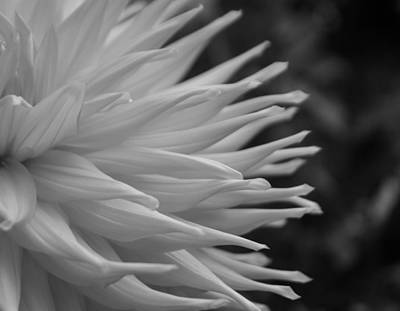 Dahlia Petals In Black And White Poster by Arlene Carmel