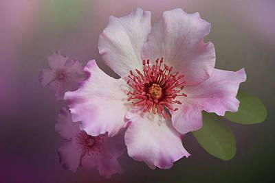Dainty Bess - Hybrid Tea Rose Art Poster by Mitch Spence
