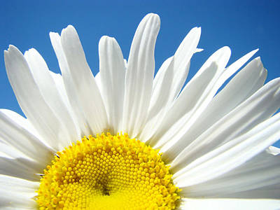 Daisy Art Prints White Daisies Flowers Blue Sky Poster