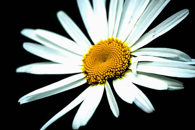 Poster featuring the photograph Daisy Flower - White Sun by Alexander Senin
