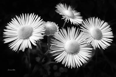 Poster featuring the photograph Daisy Flowers Black And White by Christina Rollo