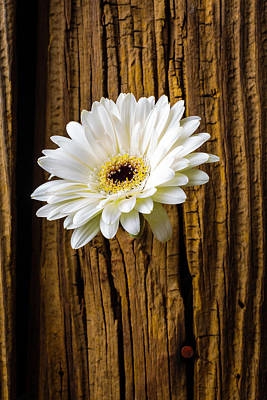 Daisy In Knothole Poster by Garry Gay