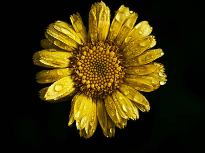 Daisy On Black Background Poster