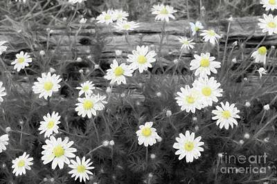 Poster featuring the photograph Daisy Patch by Benanne Stiens