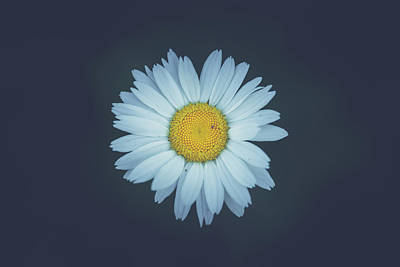 Poster featuring the photograph Daisy  by Shane Holsclaw