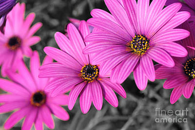 Daisy Steps Poster by Kaye Menner