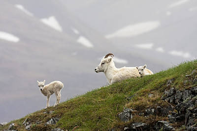 Dall Sheep Ewe And Her Lamb  Ovis Dalli Poster by Alissa Crandall