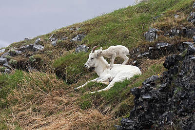 Dall Sheep  Ovis Dalli Dalli  Lamb Poster by Alissa Crandall