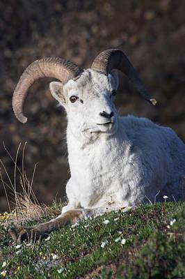 Dall Sheep Ram  Ovis Dalli Dalli  Lying Poster by Alissa Crandall