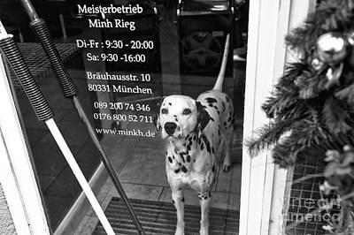 Dalmatian In The Window Poster