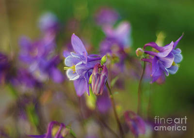 Dance Of The Lavender Columbines Poster by Mike Reid