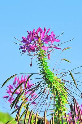 Poster featuring the photograph Dancing Cleome by Debbie Stahre