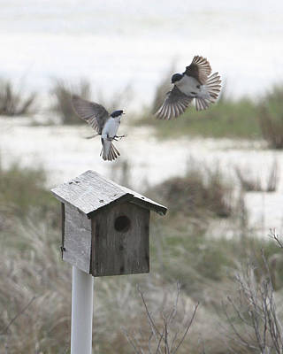 Dancing Tree Swallows Poster