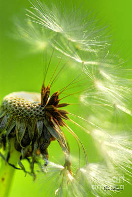 Poster featuring the photograph Dandelion by Alana Ranney