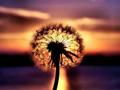 Dandelion At Sundown Poster by Karen Scovill