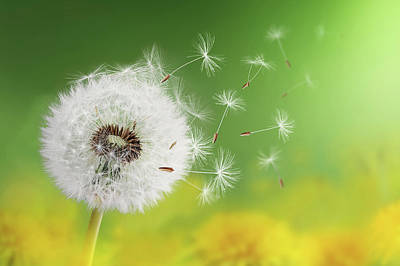 Dandelion Clock In Morning Poster by Bess Hamiti