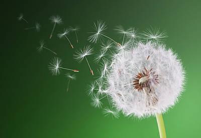 Dandelion Flying On Background Green Poster