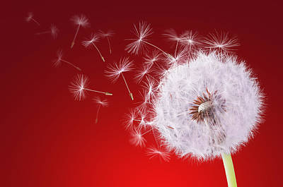 Dandelion Flying On Reed Background Poster