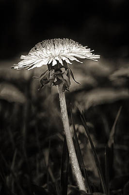 Dandelion In Black And Wite Poster