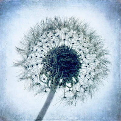 Dandelion In Blue Poster by Tamyra Ayles