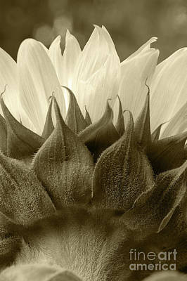Poster featuring the photograph Dandelion In Sepia by Micah May