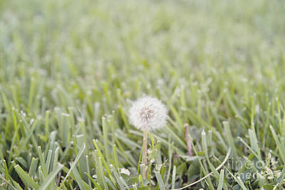 Poster featuring the photograph Dandelion In The Grass by Cindy Garber Iverson