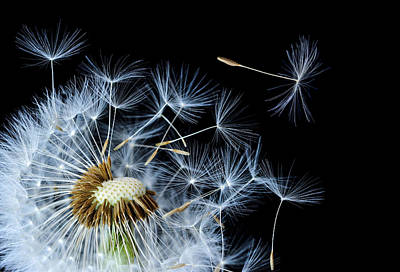 Poster featuring the photograph Dandelion On Black Background by Bess Hamiti