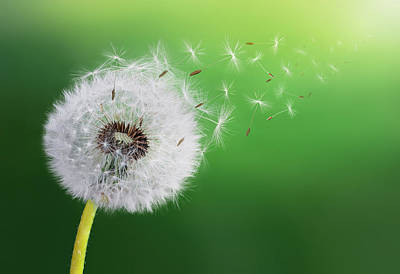 Poster featuring the photograph Dandelion Seed by Bess Hamiti