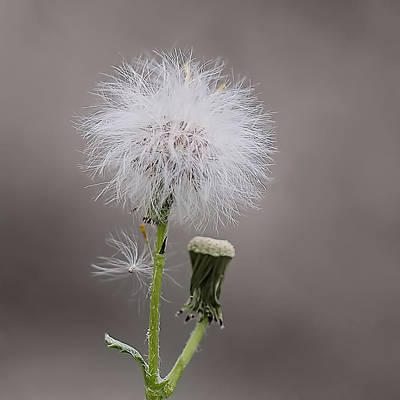 Dandelion Seed Head Poster by Rona Black