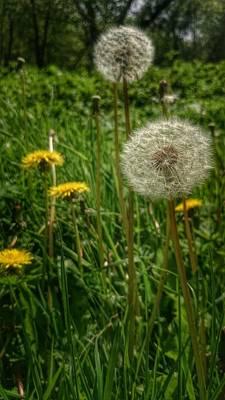 Dandelion Seeds Poster by Isabella F Abbie Shores FRSA
