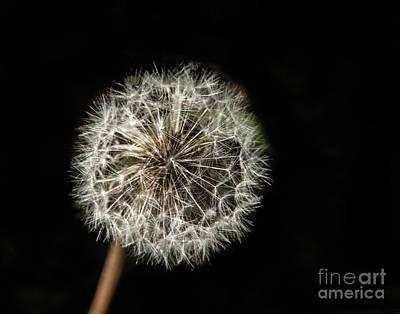 Dandelion Seeds Poster by Robert Bales
