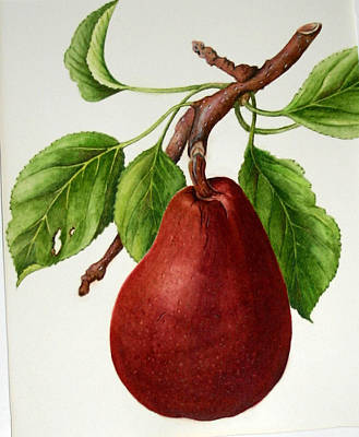 Poster featuring the painting D'anjou Pear by Margit Sampogna